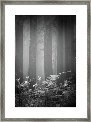 Fog And Ferns In Redwoods Forest Framed Print by Cathy Clark aka CLCsPics