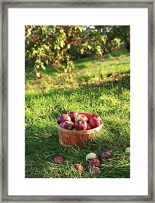 Freshly Picked Apples In The Orchard  Framed Print by Sandra Cunningham