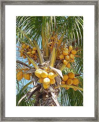 Golden Coconuts Key West Framed Print