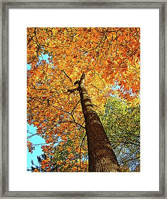 Golden Hickory Framed Print