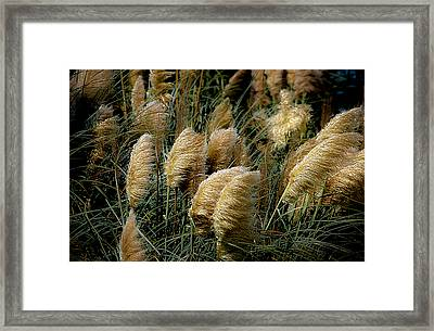 Golden Pampas In The Wind Framed Print by DigiArt Diaries by Vicky B Fuller