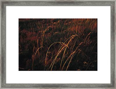 Grasses Glow Golden In Evenings Light Framed Print