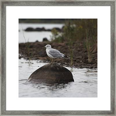 Gull On A Rock Framed Print by Marjorie Imbeau