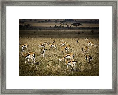 Herd Of Antelope Framed Print by Darcy Michaelchuk
