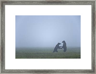 In The Morning Mist, Two Brown Bears Framed Print by Michael Melford