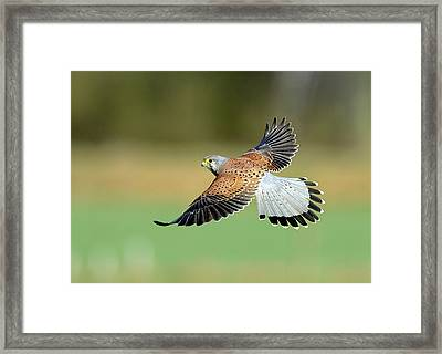 Kestrel Bird Framed Print