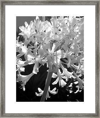 Lily Of The Nile Framed Print by Lindsey Orlando