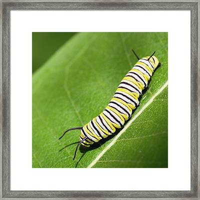 Monarch Butterfly Caterpillar Framed Print