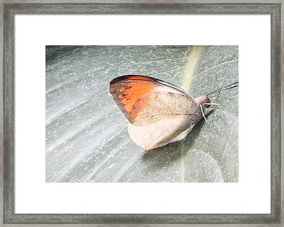Orangetip Framed Print