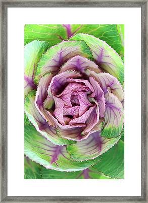 Ornamental Lettuce Framed Print by Neil Overy