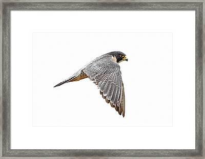 Peregrine Falcon Bird Framed Print by Bmse