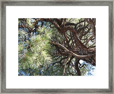 Pine-ally Looking Up Framed Print