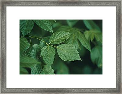 Poison Ivy Framed Print by Amy White & Al Petteway