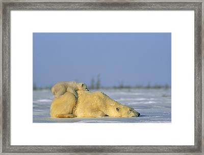 Polar Bear And Her Cub Resting Framed Print by Norbert Rosing