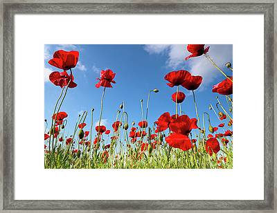Poppies Season Framed Print