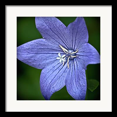 Japanese Bellflower Framed Prints