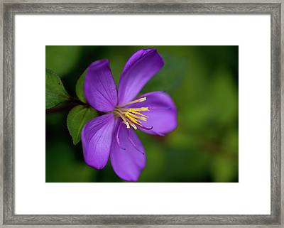 Purple Flower Macro Framed Print