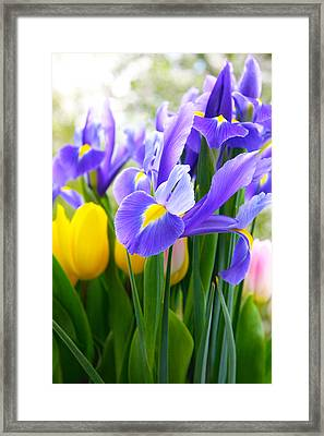 Purple Iris On A Spring Day Framed Print by Daphne Sampson