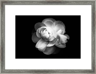 Ranunculus Flower Framed Print by Annfrau