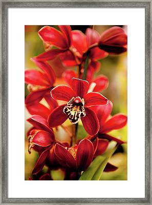 Red Orchid Flowers Framed Print by Dan Pfeffer
