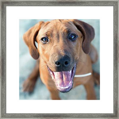 Ridgeback Puppy Framed Print
