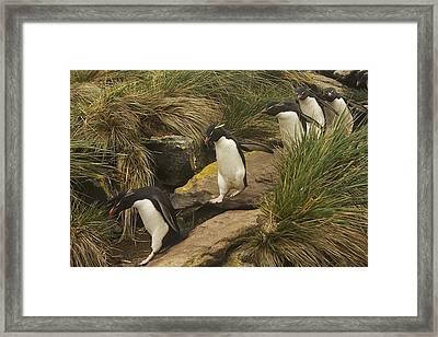 Rockhopper Penguins, Eudyptes Framed Print by Ralph Lee Hopkins