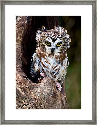 Saw-whet Owl Framed Print by Wade Aiken