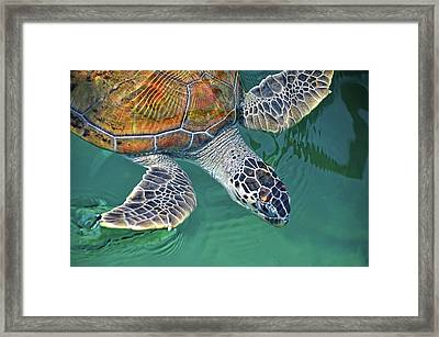 Sea Turtle Framed Print by Thank you.