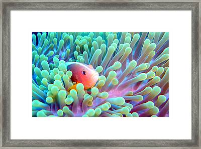 Skunk Clownfish And Sea Anemone Framed Print