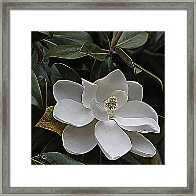 Southern Magnolia Framed Print by Sandi Blood