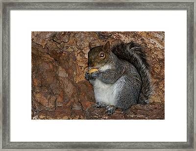Framed Print featuring the photograph Squirrell by Pedro Cardona