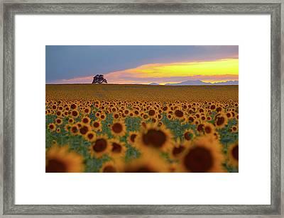 Sunflower Field Framed Print by Lightvision, LLC