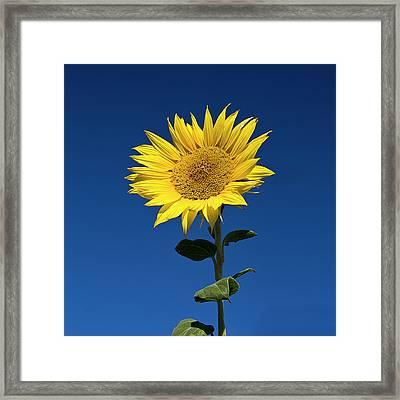 Sunflower Framed Print by Fotografias de Rodolfo Velasco
