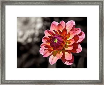 Sunshine Dahlia Framed Print