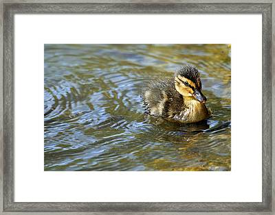 Swimming Duckling Framed Print by © Esther Moliné