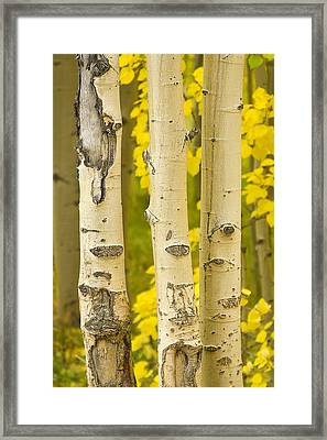 Three Autumn Aspens Framed Print by James BO  Insogna