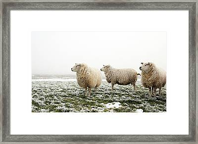 Three Sheep In Winter Framed Print by MarcelTB