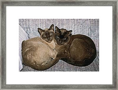 Tonkinese Pals Framed Print by Sally Weigand