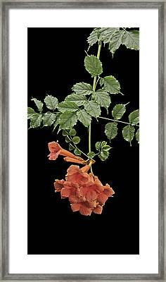Trumpet Vine Framed Print by Michael Peychich