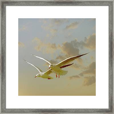 Two Mediterranean Gulls In Flight Framed Print by Christiana Stawski