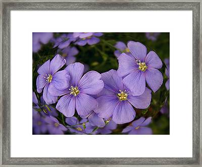 Vinca Under Glass Framed Print by Sue Stefanowicz