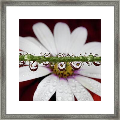 Water Drops And Daisy Framed Print by Dr T J Martin