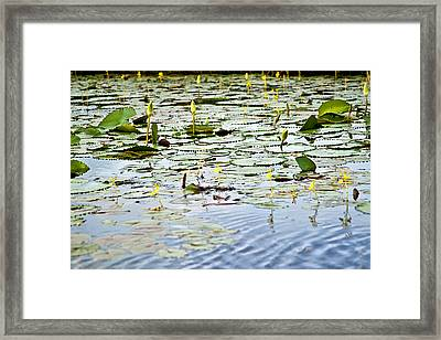 Water Lilies Framed Print by Sarita Rampersad