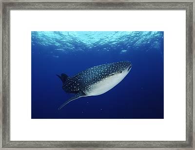 Whale Shark Rhincodon Typus Framed Print