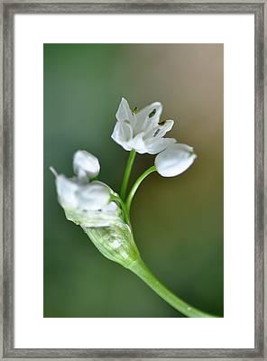 White Blossom 3 Framed Print