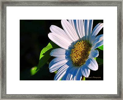 White Daisy Framed Print by William Lallemand
