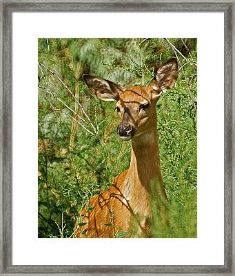 Whitetail Doe Painterly Framed Print by Ernie Echols