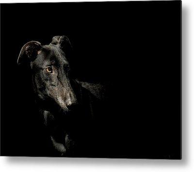 Greyhound Photographs Metal Prints