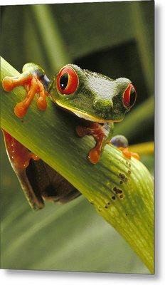 A Red-eyed Tree Frog Agalychnis Metal Print by Steve Winter