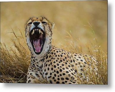 Africa Tanzania Cheetah (acinonyx Metal Print